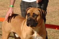 Over 100 boerboels expected at Wildsfees
