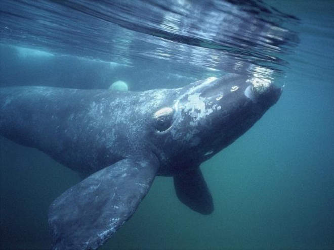 Southern-Right-Whale-Photos
