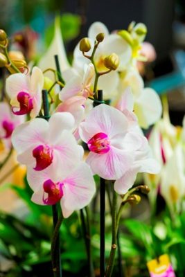 2016 Orchid Show at GardenShop FloraFarm promises an enchanting display