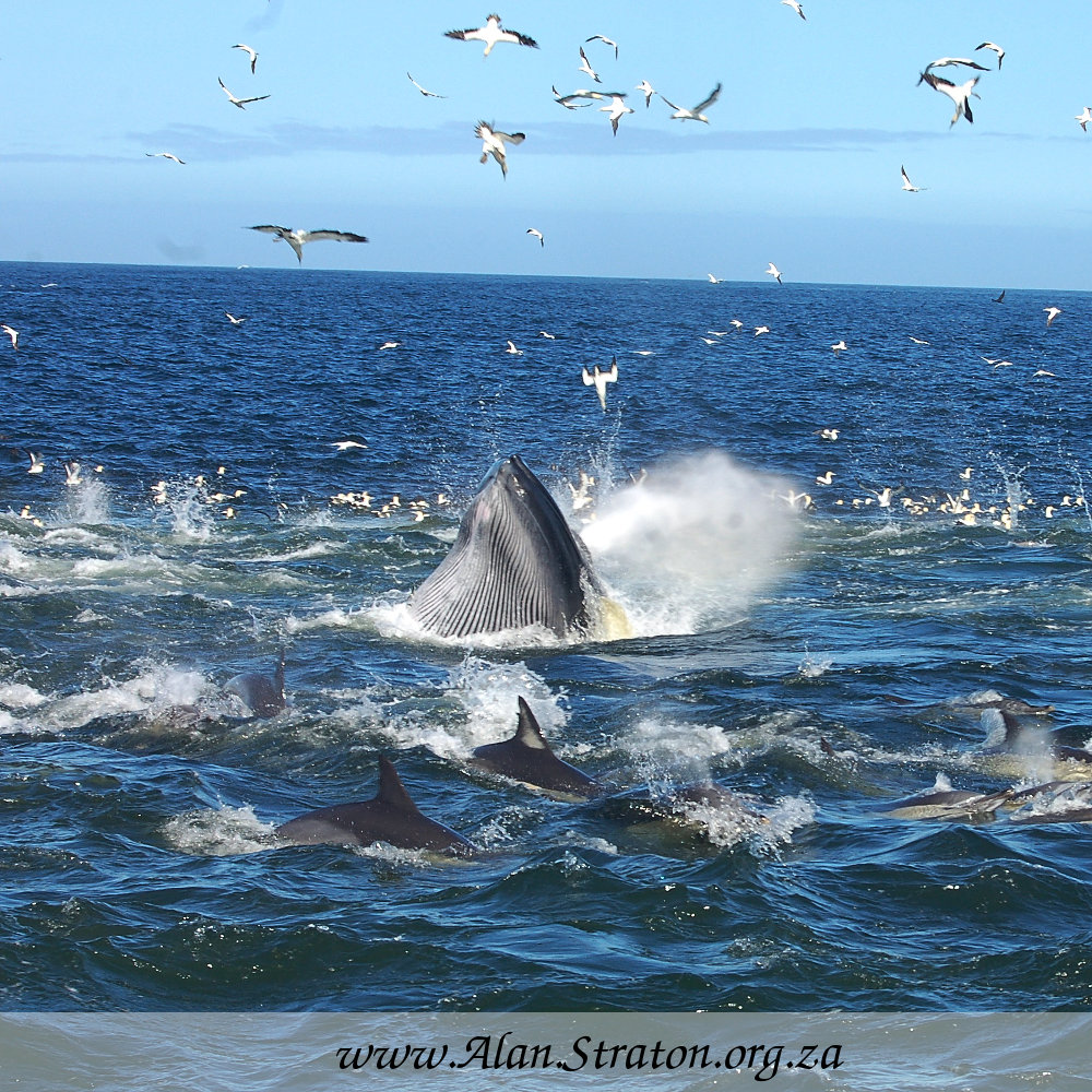 Sardine Run Action brings predators together for a feast Photo: Alan Straton